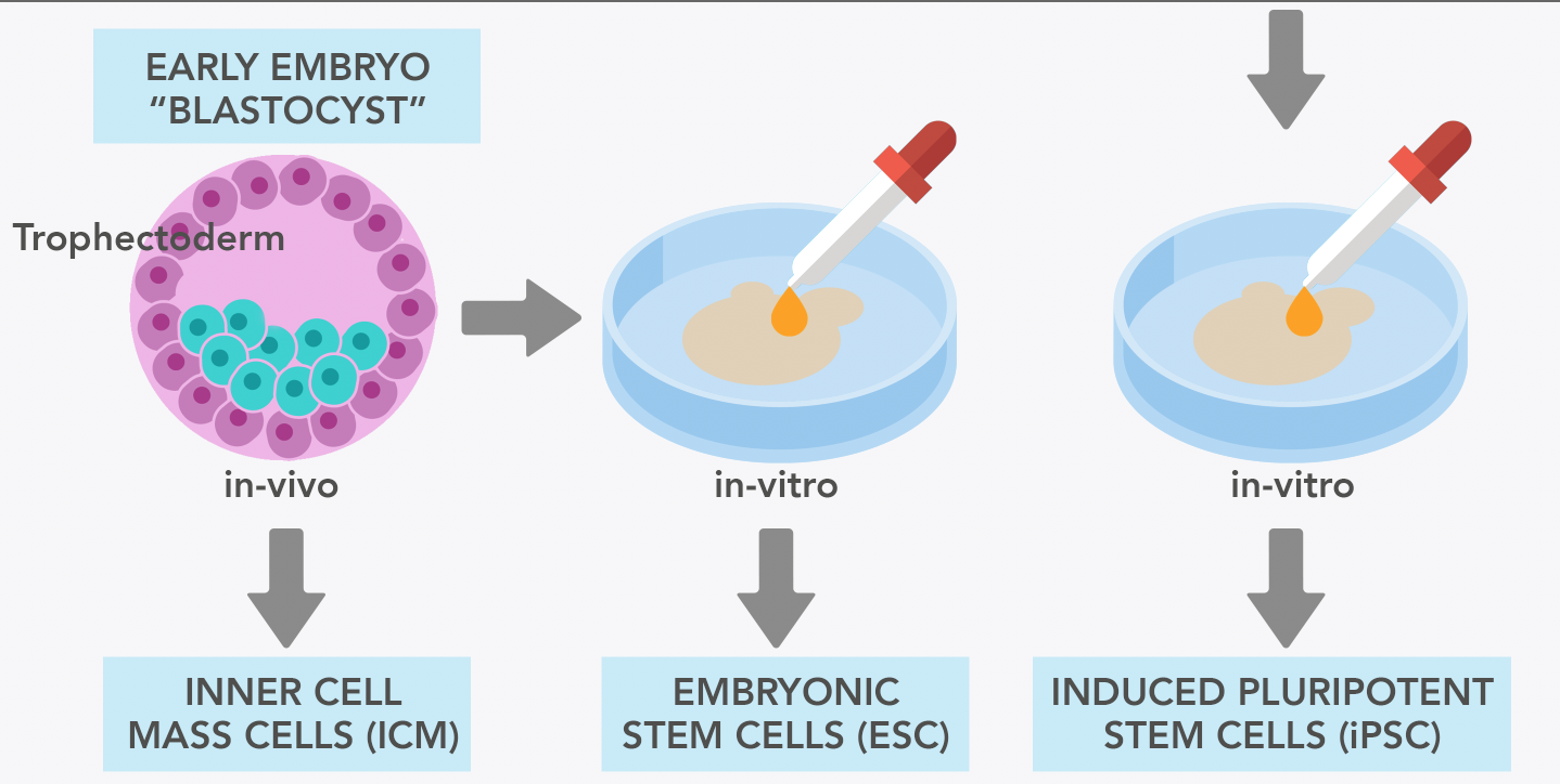 Reproduction And Fertility How Could Stem Cells Help