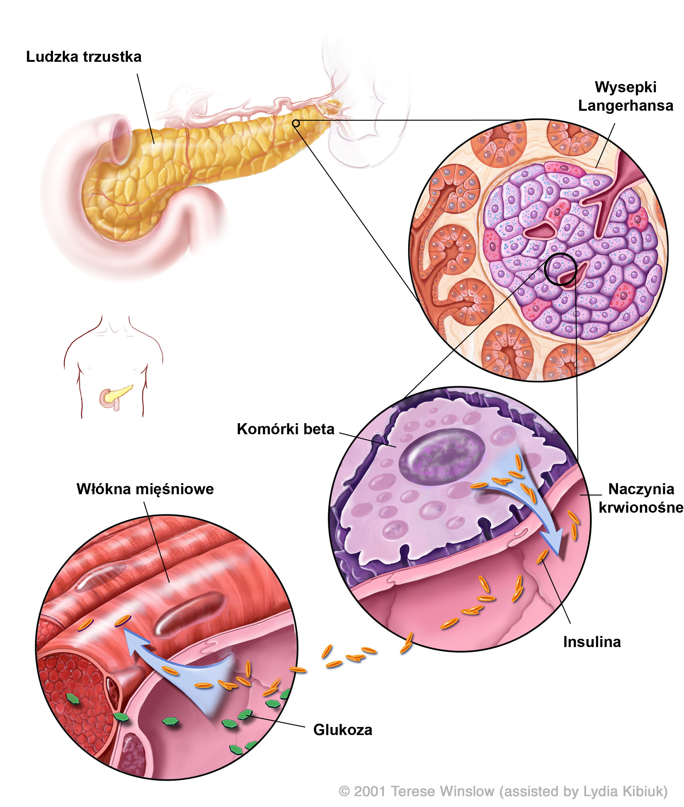 'Insulin Production in the Human Pancreas' diagram
