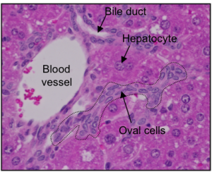 A piece of mouse liver containing hepatocytes and oval cells