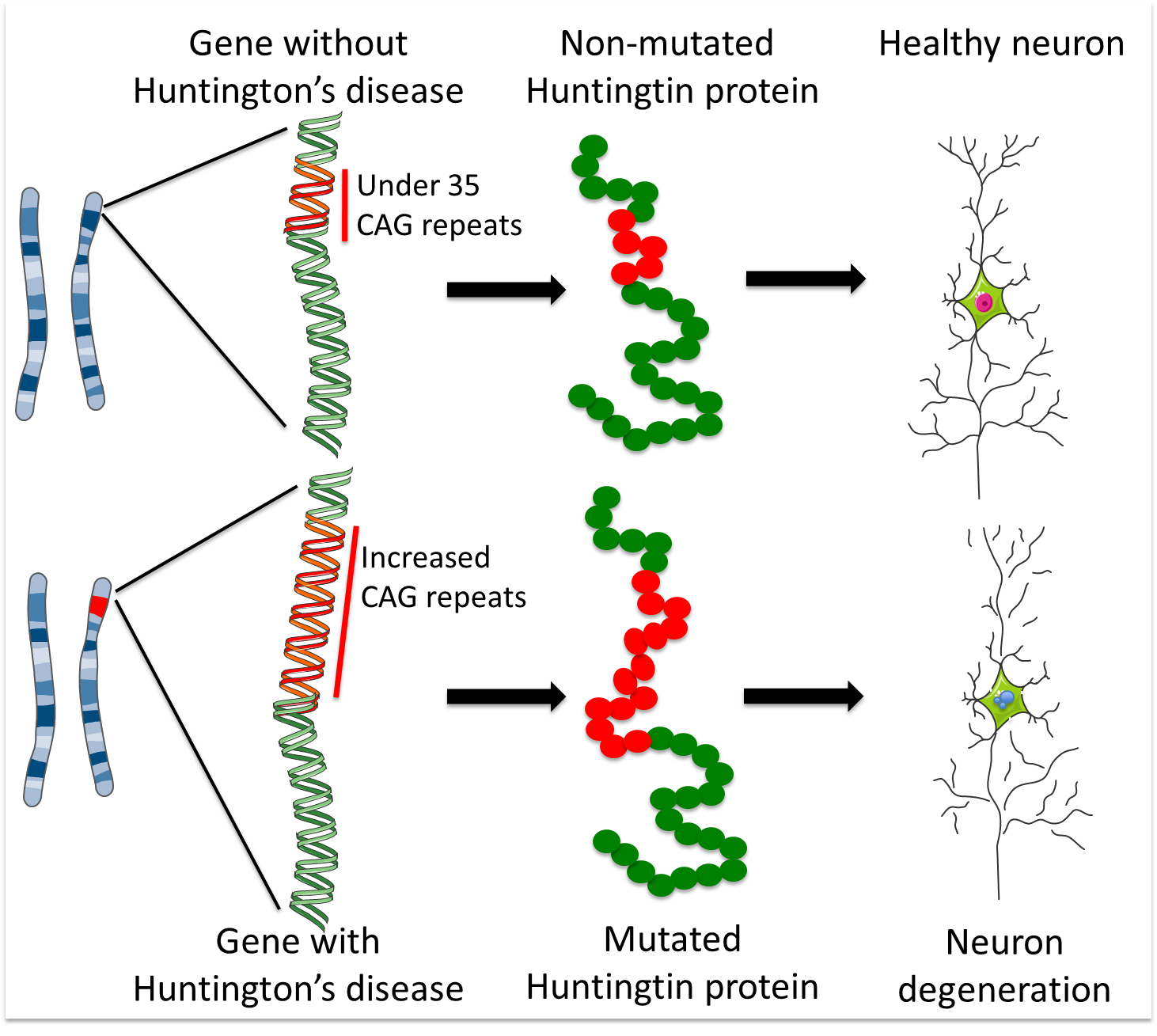 Huntington U2019s Disease  How Could Stem Cells Help