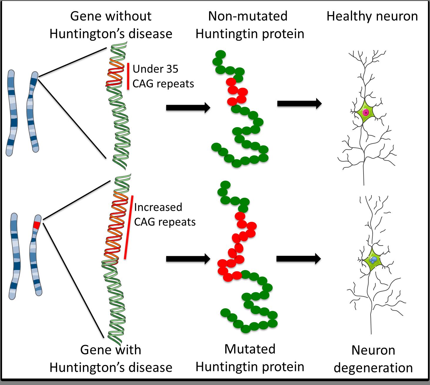Huntington U2019s Disease  How Could Stem Cells Help