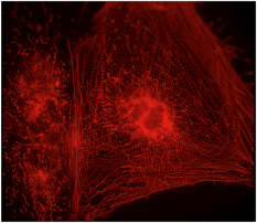 Heart cells grown from human embryonic stem cells