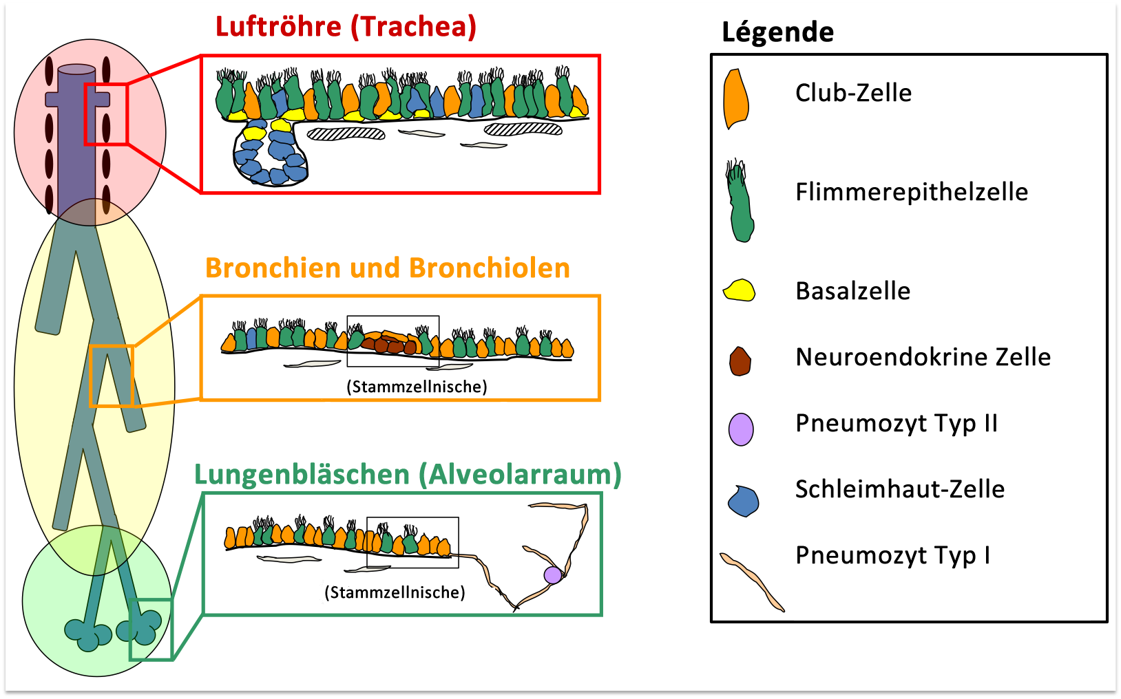 Lungenstammzellen und ihre Funktion in Gesundheit, Reparatur und ...
