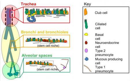 lung stem cells in health  repair and disease eurostemcell bronchi anatomy bronchi anatomy bronchi anatomy bronchi anatomy