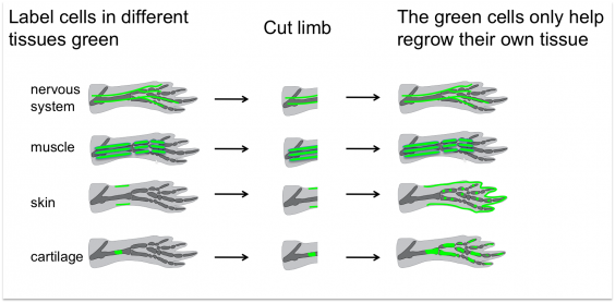 Salamander regeneration diagram