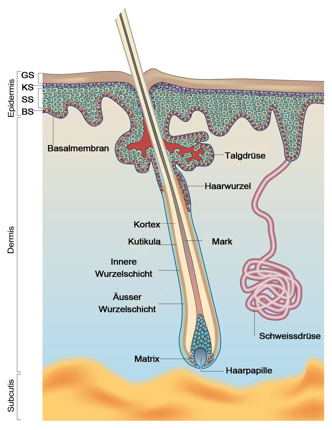 Hautstammzellen woher kommen sie und was können sie   Eurostemcell