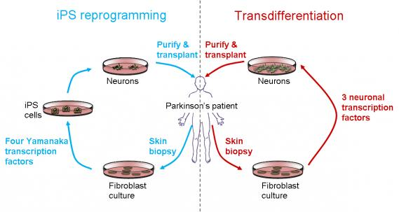 Comparison of iPS reprogramming and transdifferentiation: These processes might eventually be applied in the clinic for cell replacement therapies.