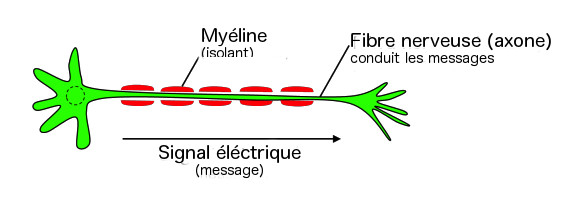 Cellule nerveuse