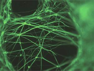 neurons grown in the lab