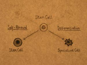 stem cells self renew and differentiate