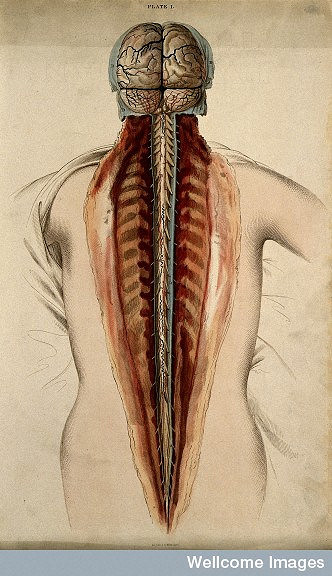 Spinal cord injuries: how could stem cells help?   Eurostemcell