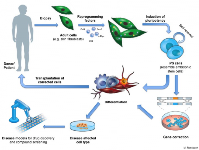Induced Pluripotent Stem Cells (iPS)