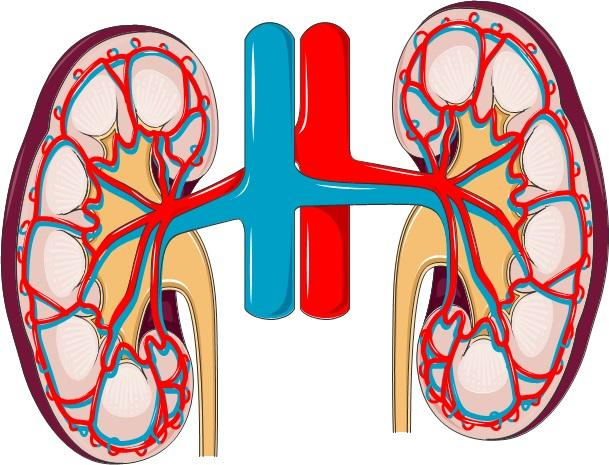 Kidney Disease How Could Stem Cells Help Eurostemcell