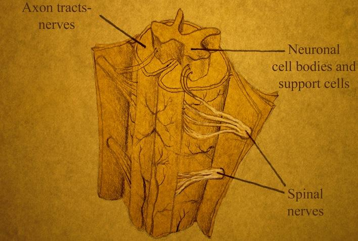 Spinal cord drawing