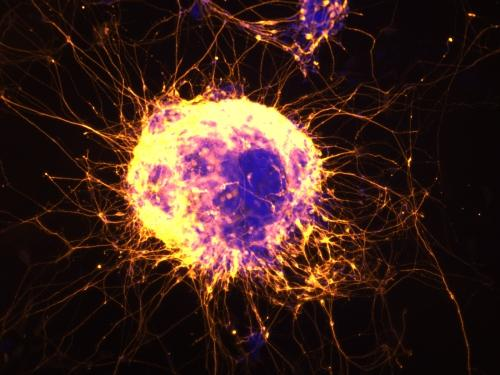 Neural cells emerging from mouse embryonic stem cells