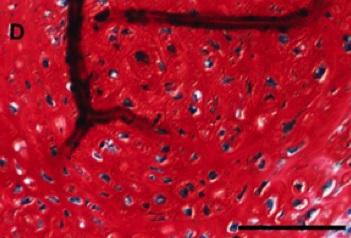 Cartilage cells made from MSCs
