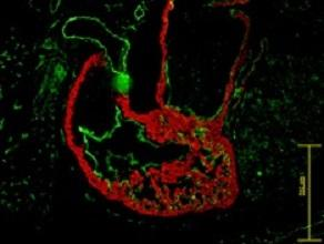 Cardiomyocytes in this developing mouse heart can be identified using proteins on the surface of the cells