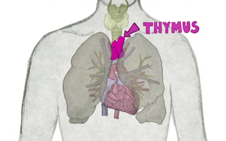 The image shows the location of the thymus in the human body. The thymus is located within the chest cavity, behind the breastbone and between the lungs.
