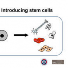 Presentation: Introducing Stem Cells
