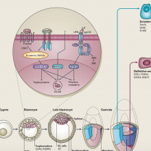 Poster: Molecular mechanisms of stem-cell identity and fate