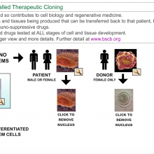 Interactive Chart: Theraputic Cloning