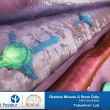Institut Pasteur: Muscle and Stem Cells picture